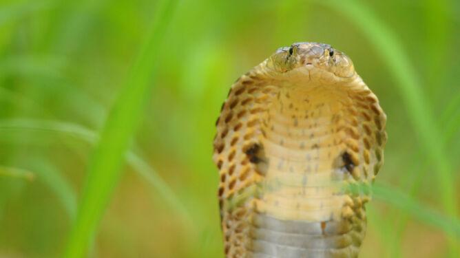 Wielka ucieczka jadowitych węży