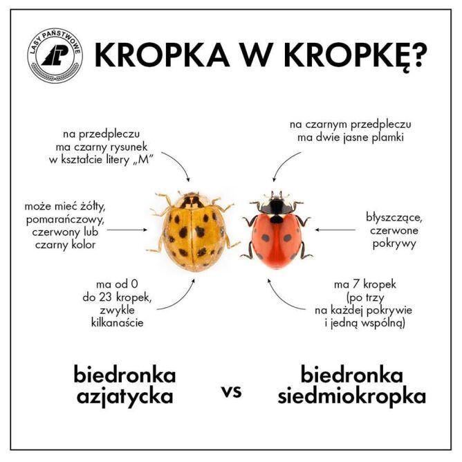 Jak odróżnić biedronkę azjatycką od biedronki siedmiokropki? (Lasy Państwowe)