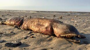 Długi, pomarszczony i z wielkimi kłami. Tajemniczy stwór na plaży w Teksasie
