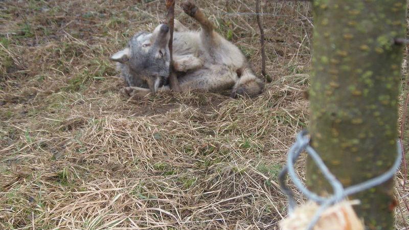 Leśnicy ze Świętokrzyskiego wyciągnęli wilka z wnyków