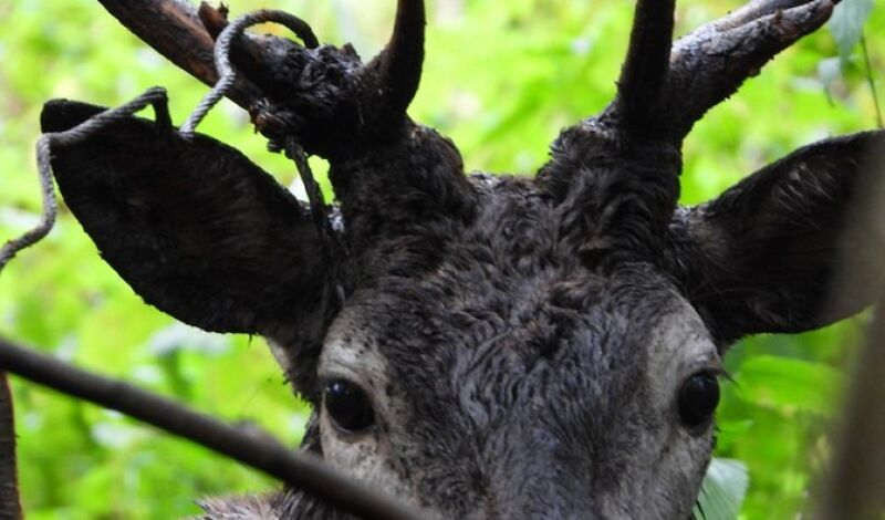 Stalowa linka zacisnęła się wokół poroża jelenia (Lasy Państwowe)