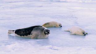 """""""Zabijają jak najwięcej zwierząt"""". Trwa polowanie na foki w Kanadzie"""