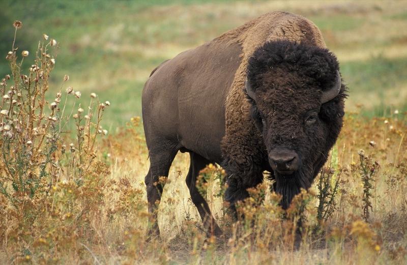 Północnoamerykański bizon (Elk Island National Park, wikipedia)